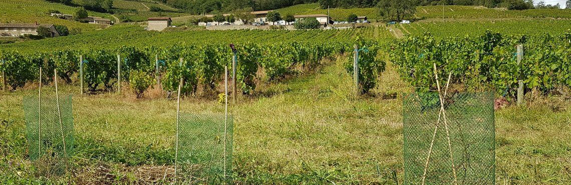 Haies Beaujolais-vigne-une-site-Photo-Agence-eau-