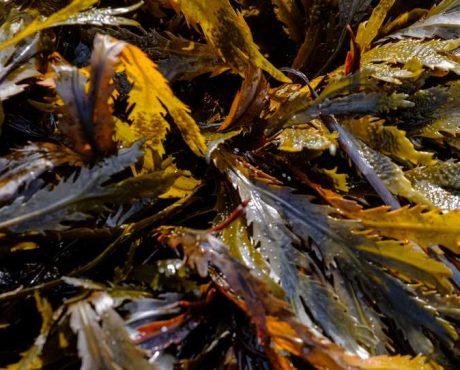algues brunes et vertes